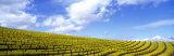 Mustard Fields, Napa Valley, California, USA