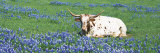 Texas Longhorn Cow Sitting on a Field, Hill County, Texas, USA