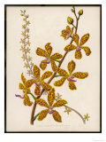 Var Grandiflora an Orchid Species