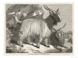 The Cashmere or Down Goat