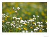 Meadow Saxifrage & Meadow Buttercups (Ranunculus Acris), UK