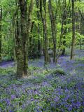 Bluebells in Deciduous Woodland, UK