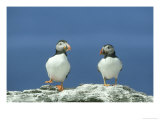 Puffin, Pair on Rock, Scotland
