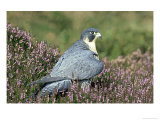 Peregrine Falcon on Heather in Flower, UK