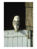 Barn Owl, Tyto Alba Adult Perched on Stable Door, Scotland Cairngorms National Park, Scotland