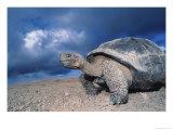 Giant Tortoise, Sunrise, Isabella Island, Galapagos