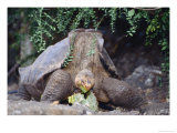Espanola Saddleback Tortoise Adult Female, Galapagos