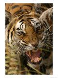 Bengal Tiger, Snarling, Madhya Pradesh, India