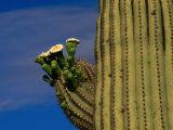 Flowering Saguaro Cactus in the Sonoran Desert, California, USA