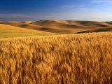 Wheat Fields, Palouse, USA
