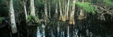 Cypress Trees Growing in Water, Big Cypress National Preserve, Florida, USA
