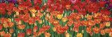 Tulips in a Garden, Botanical Garden of Buffalo and Erie County, Buffalo, New York, USA