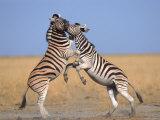 Common Zebra Males Fighting, Etosha National Park, Namibia