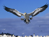 Cape Gannet Landing, Lamberts Bay, South Africa