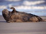 Grey Seal Lying on Beach, UK
