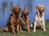Three Golden Retrievers, USA