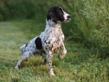 English Springer Spaniel, Wet and Alert, USA