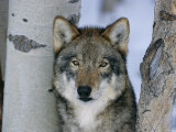 Grey Wolf Head Portrait, Us