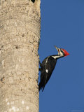 Pileated Woodpecker, Female at Nest Hole in Palm Tree, Fl, USA