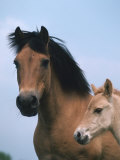 Domestic Horse, Dulmen Pony, Mare with Foal, Europe