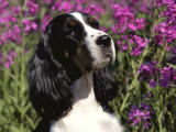 English Springer Spaniel Dog, USA