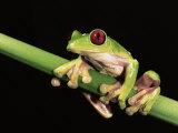 Maroon Eyed Leaf Frog, Esmeraldas, Ecuador