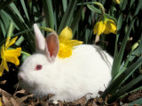 Pet Domestic New Zealand Rabbit and Daffodil Flower