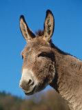 Domestic Donkey Head Portrait, Europe