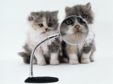 Two Domestic Cat Kittens Play with Magnifying Glass