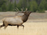 Elk, Bull Bugling in Rut, Yellowstone National Park, Wyoming, USA
