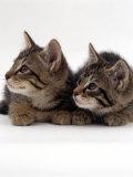 Two 9-Week Wild Cat Kittens