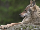 European / Grey Wolf, Resting on Boulder in Forest, Bavarian Forest, Germany