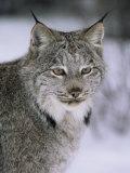 Lynx Portrait, USA