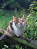 Domestic Cat Watching for Birds, Europe, Looking Up