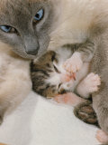 Domestic Cat, Stray Siamese Female with Single Kitten