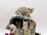 Domestic Cat, Five 8-Week Kittens in Igloo Bed