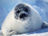 Harp Seal Pup on Ice at Start of Moult, Magdalen Is, Canada, Atlantic