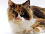Domestic Cat, Tortoiseshell and White