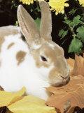 Mini Rex Domestic Rabbit, USA