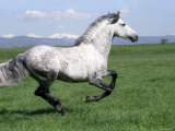 Grey Andalusian Stallion Cantering with Rocky Mtns Behind, Colorado, USA
