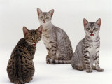 Domestic Cat, Female Silver Egyptian Mau with Two of Her 14-Week Kittens