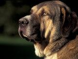 Spanish Mastiff Portrait