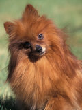 Pomeranian with Head Cocked to One Side