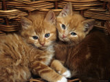 Domestic Cat, Ginger Male Kittens Sitting in a Wicker Basket