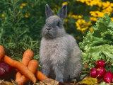 Domestic Netherland Dwarf Rabbit Amongst Vegetables, USA