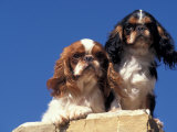 Two King Charles Cavalier Spaniel Adults on Wall