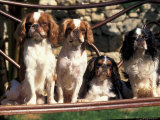Four Young King Charles Cavalier Spaniels