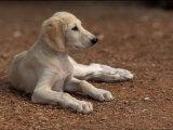 Young Saluki Puppy Lying Down