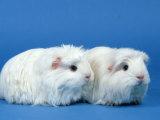 Two White Coronet Guinea Pigs