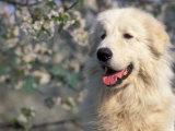Pyrenean Mountain Dog Portrait